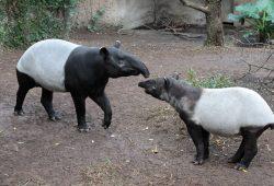 Vater Copasih und Sohn Ketiga beim Kennenlernen. Foto: Zoo Leipzig