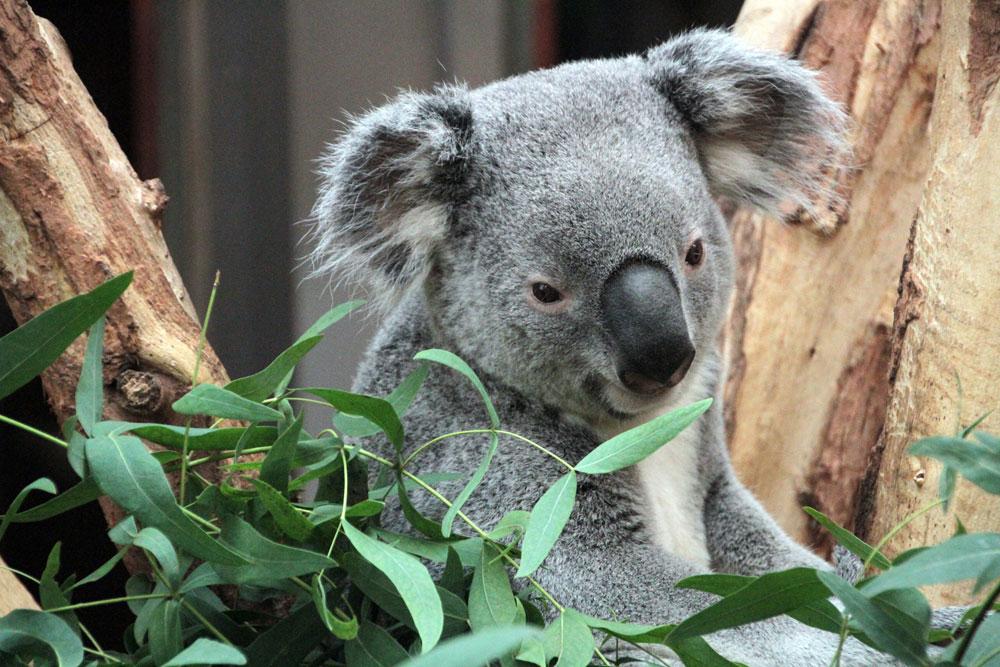 Koalamännchen Oobi Ooobi. Foto: Zoo Leipzig