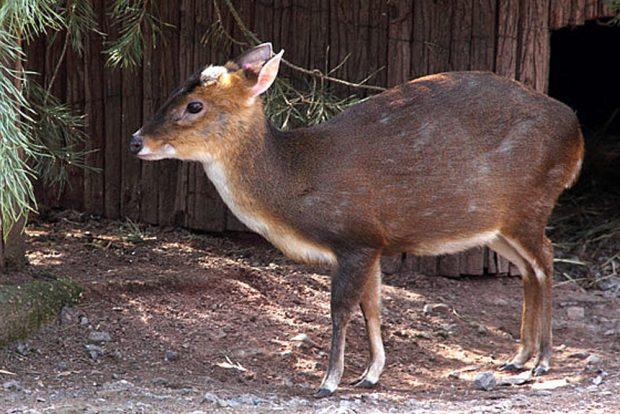 Zwergmuntjak im Leipziger Zoo. Foto: Zoo Leipzig
