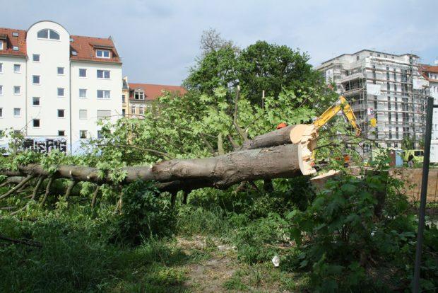 Baumfällung in Connewitz. Archivfoto: Ralf Julke