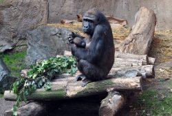 Gorilla Kibara mit Gorillamädchen Kianga auf der Innenanlage. Foto: Zoo Leipzig