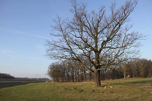 Fläche Nr. 3: eine Wiese mit alten Stieleichen. Foto: NuKLA e.V.