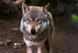 Wölfe abzuschießen hat mit Artenschutz nicht das Geringste zu tun. Foto: raincarnation40 / Pixabay.com