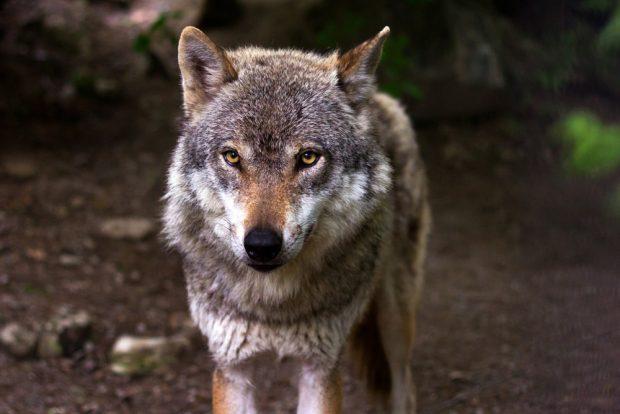 Auch dem Wolf ist das deutsche Straßennetz zu eng. Foto: raincarnation40 / Pixabay.com