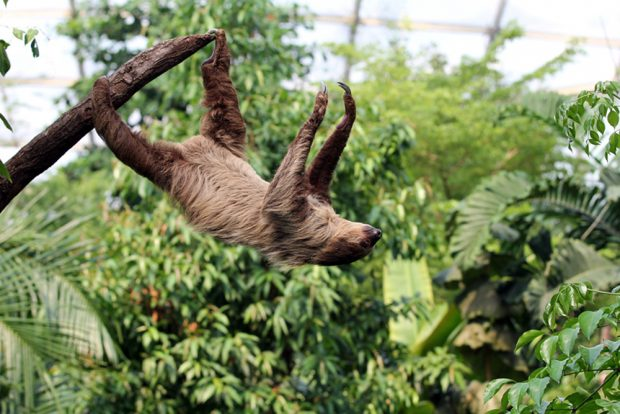 Faultier im Gondwanaland. Foto: Zoo Leipzig