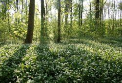 Ganz bestimmt keine Wildnis: bewirtschafteter Leipziger Stadtwald. Foto: Ralf Julke