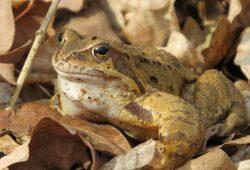 Bei milden Temperaturen begeben sich die Amphibien auf Wanderschaft, zum Beispiel der Grasfrosch. Foto: NABU