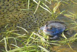 Moorfrosch-Männchen. Foto: Karsten Peterlein