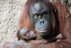 Raja mit ihrem Sohn. Foto: Zoo Leipzig