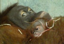 Raja mit ihrem Jungtier. Foto: Zoo Leipzig