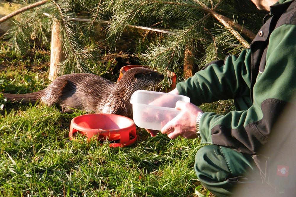 Fischotterfütterung. Foto: Wildparkverein