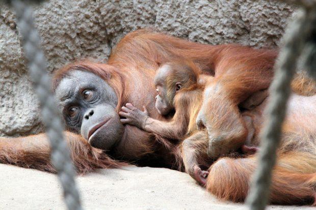 Orang-Utan-Weibchen Raja mit Sohn Martok. Foto: Zoo Leipzig