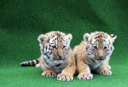Die Tiger-Zwillinge suchen einen Namen. Foto: Zoo Leipzig