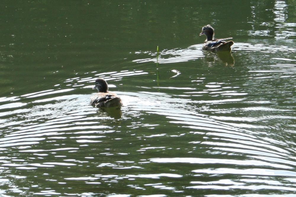 Enten auf dem Inselteich im Clara-Park. Foto: Ralf Julke