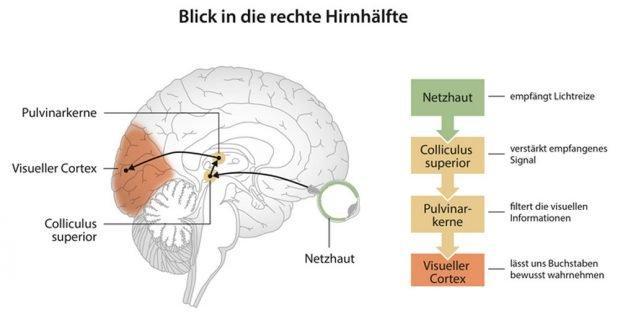 Lesen lernen führt zu neuroplastischen Veränderungen in einem Netzwerk, das tief ins Gehirn hineinreicht. Dieser Umbauprozess verbessert unsere visuelle Navigation durch Texte. Grafik: MPI CBS, Leipzig Originalpublikation