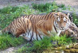 Tigermutter Bella mit ihren Jungtieren. Foto: Zoo Leipzig