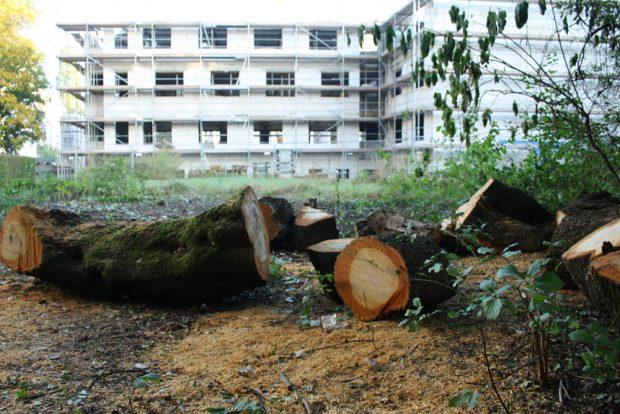 Baumfällung in Connewitz. Foto: Ralf Julke