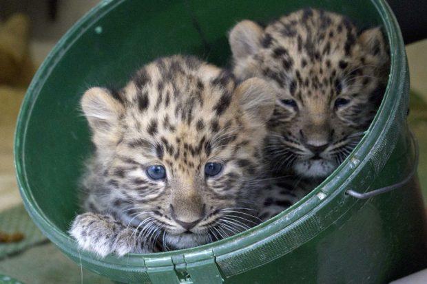 Amurleoparden-Zwillinge sind Jungs. Foto: Zoo Leipzig