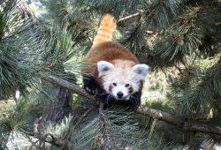 Am 1. August öffnet das Himalaya-Gebirge – der Rote Panda fühlt sich schon wohl. Foto: Zoo Leipzig
