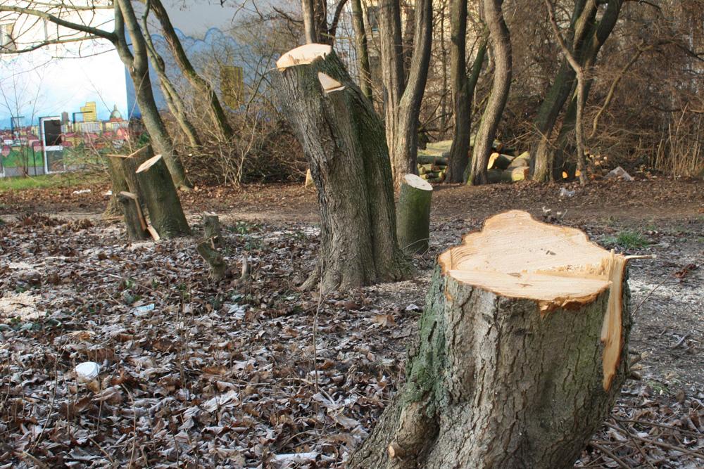 Gefällte Bäume in Connewitz. Foto: Ralf Julke