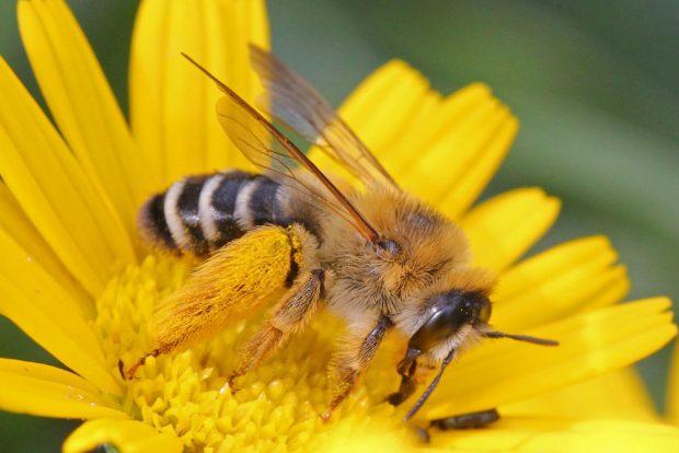Hosenbiene (Dasypoda hirtipes). Foto: NABU/Hans-Jürgen Sessner