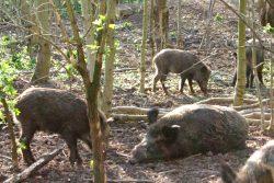 Wildschweine im Leipziger Wildpark. Foto: Ralf Julke