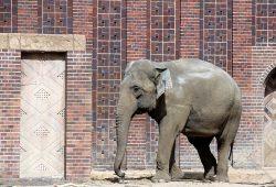 Elefantendame im Leipziger Zoo. Ab 30. August sind ihre Artgenossen mit Kunststückchen in Leipzig. Foto: Sebastian Beyer