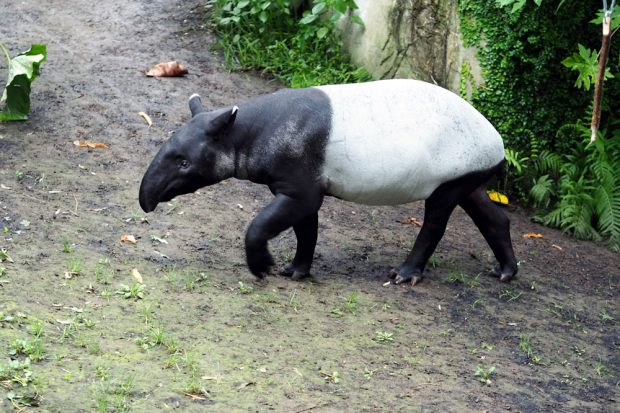 Tapirbulle Ketiga in Gondwanaland. Foto: Zoo Leipzig