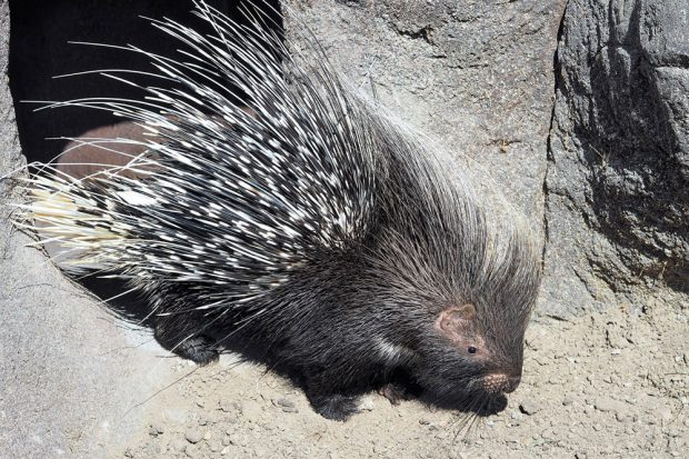 Stachelschwein auf Erkundungsgang. Foto: Zoo Leipzig