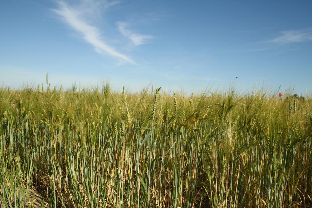 Getreidefeld mit Sommerhimmel. Foto: Ralf Julke