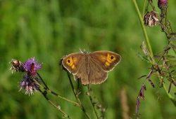 Auf der NABU-Streuobstwiese sind zahlreiche Schmetterlinge zu Hause. Besonders wichtig: Sowohl Raupe als auch die erwachsenen Falter finden hier Nahrung und Lebensraum. Foto: Carola Bodsch