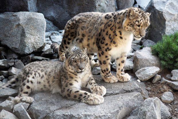 Schneeleopardenpärchen in der neuen Himalayaanlage. Foto: Zoo Leipzig