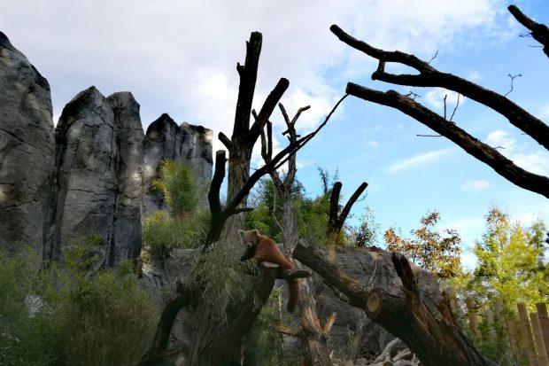 Roter Panda im Himalaya-Gebirge. Foto: Zoo Leipzig
