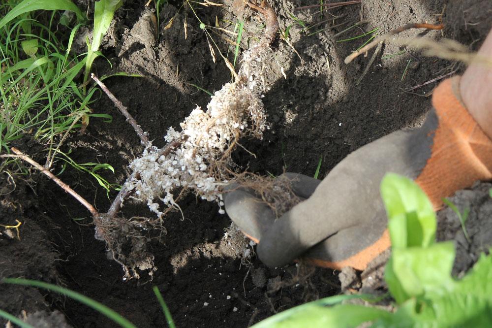 Schwarze Johannisbeere pflanzen. Foto: erleb-bar