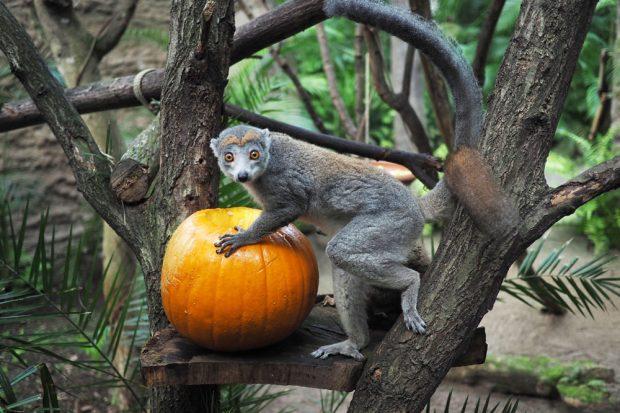 Herbstzeit ist Zoozeit – Kronenmaki mit Kürbis. Foto: Zoo Leipzig