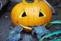 Kürbis frisst Colorado-Kröte – Halloween im Zoo Leipzig. Foto: Zoo Leipzig