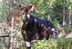 Zawadi im herbstlichen Okapi-Wald. Foto: Zoo Leipzig