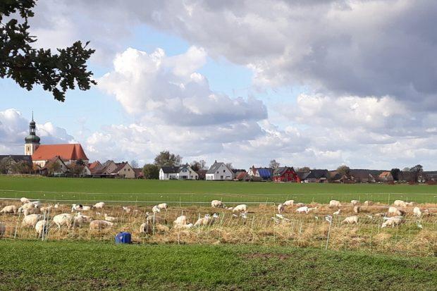 Landidylle in der Lausitz, ohne Strom auf dem zu niedrigem Zaun und keine Herdenschutzhunde. Foto: Wolfsschutz Deutschland e. V.