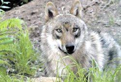 Der Canis lupus lupus (Europäischer Grauwolf) ist mit seinen 70 bis 90 Zentimetern Schulterhöhe und bis zu 50 Kilogramm Gewicht deutlich größer als ein Deutscher Schäferhund. Foto: Dieter Schütz, Pixelio