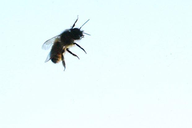 Biene am Fenster. Foto: Ralf Julke