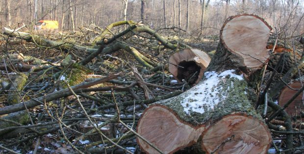 Baumfällungen im Februar 2017 in der Hans-Driesch-Straße. Foto: Jan Kaefer