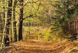 Biodiverser Herbstwald mit Fichte, Buche und Birke. Bild: iDiV, Christian Hüller