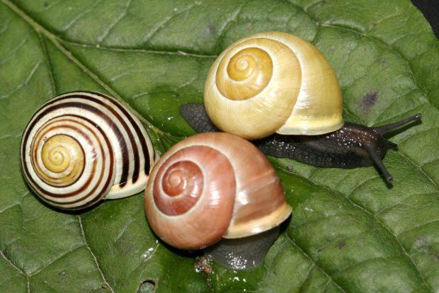 Es gibt nicht nur viele verschiedene Schneckenarten, auch die Formenvielfalt innerhalb derselben Art kann enorm sein, wie bei diesen Schnirkelschnecken. Foto: NABU/Helge May