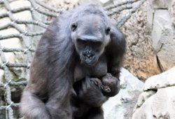 Gorillajungtier mit Kumili. Foto: Zoo Leipzig