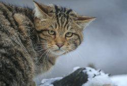 Tier des Jahres: die Wildkatze. Foto: Thomas Stephan / BUND
