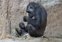 04_Gorillababy Kio mit Mutter Kumili_©_Zoo Leipzig1