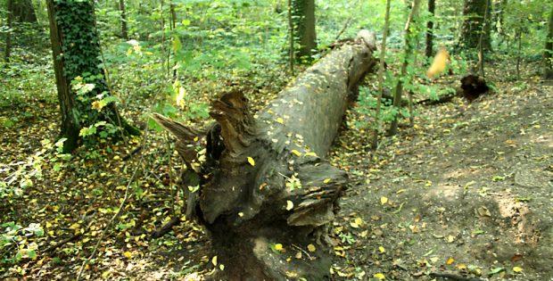 Gestürzter Baumriese im Auenwald. Foto: Ralf Julke