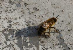 Müde Biene. Foto: Ralf Julke