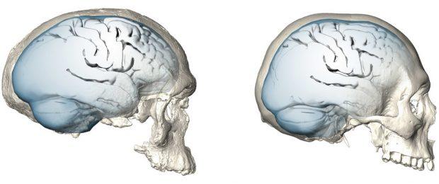 Evolution der Gehirnform bei Homo sapiens: Gehirnform eines der frühesten bekannten Vertreter unserer Art, des 300.000 Jahre alten Schädels Jebel Irhoud 1 (links). Die Gehirnform und möglicherweise auch die Gehirnfunktion entwickelten sich allmählich. Das Gehirn erreichte erst überraschend spät die für den heutigen Menschen typische rundere Form (rechts). Foto: MPI EVA/ S. Neubauer, Ph. Gunz (Lizenz: CC-BY-SA 4.0)
