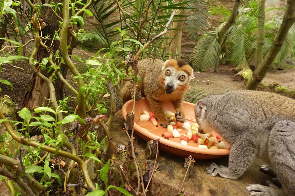 Kronenmakis in Gondwanaland. Foto: Zoo Leipzig